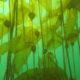 Bull Kelp - Nereocystis luetkeana, Project Watershed