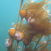 Bull Kelp - Nereocystis luetkeana (bulbs), Project Watershed