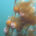 Bull Kelp - Nereocystis luetkeana (bulbs), Project Watershed
