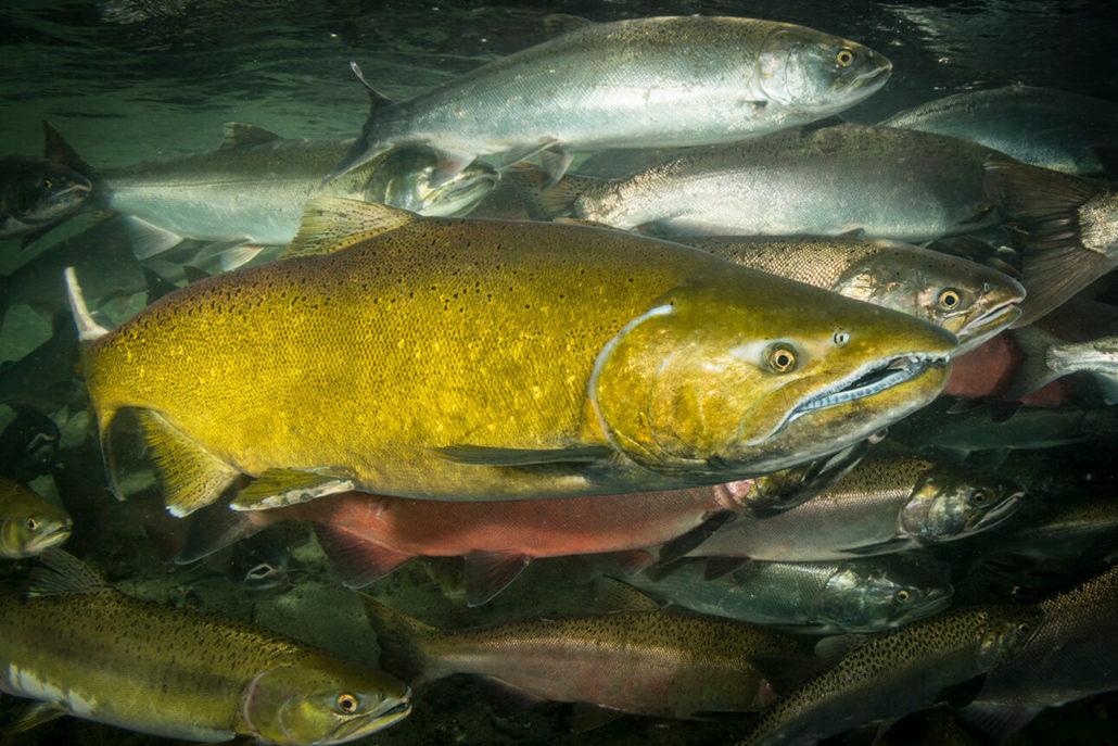 Chinook Salmon - Oncorhynchus tshawytscha, Eiko Jones