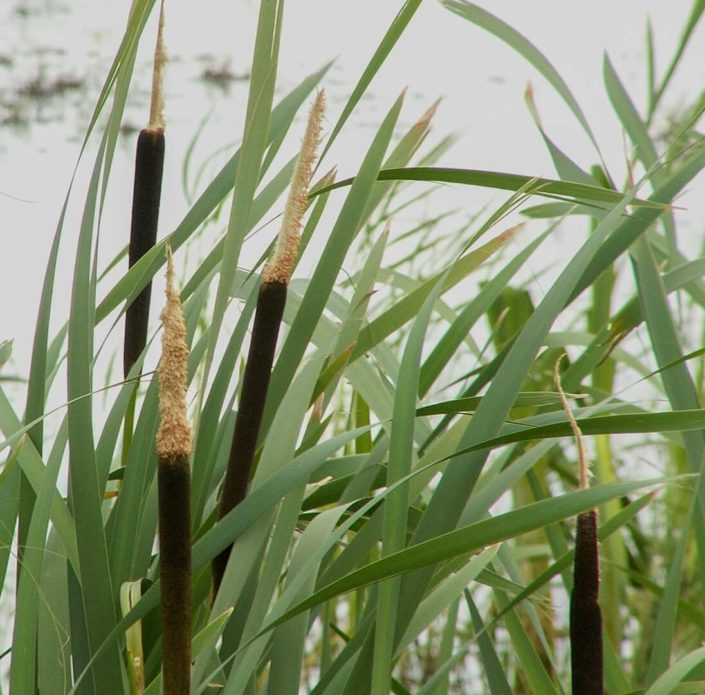 Common Cattail - Typha latifolia, Terry Thormin