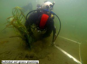 Eelgrass - Zostera marina (planting subtidal), Lora Tryon
