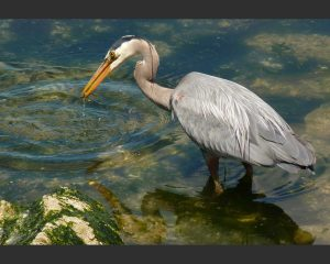 Great Blue Heron - Ardea herodias, Gerry Fairbrother