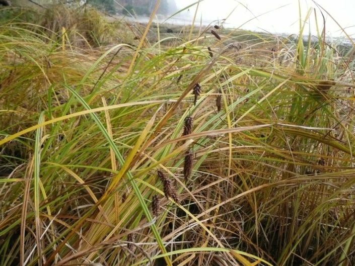 Lyngbye_s Sedge - Carex lyngbyei, Tanis Gower