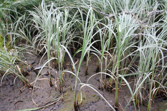 Lyngbye_s Sedge - Carex lyngbyei (close-up), Tanis Gower