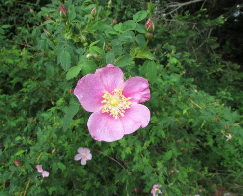 Nootka Rose - Rosa nutkana, Kathryn Clouston