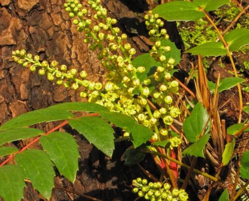 Oregon Grape - Mahonia nervosa, Terry Thormin