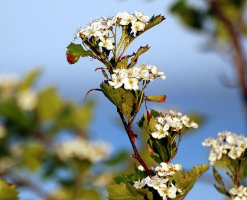 Pacific Crab Apple - Malus fusca, Kerry Dawson