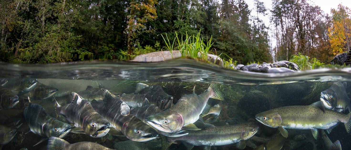 Pink Salmon - Oncorhynchus gorbuscha, Eiko Jones