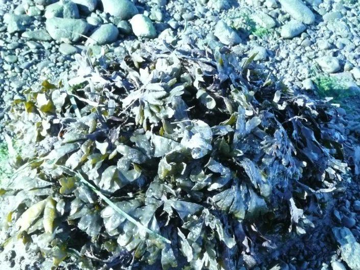 Rockweed - Fucus vesiculosus, Tanis Gower