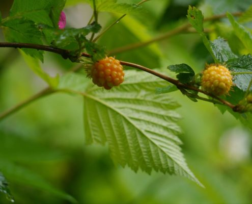 Salmonberry - Rubus spectabilis, K Kaptein