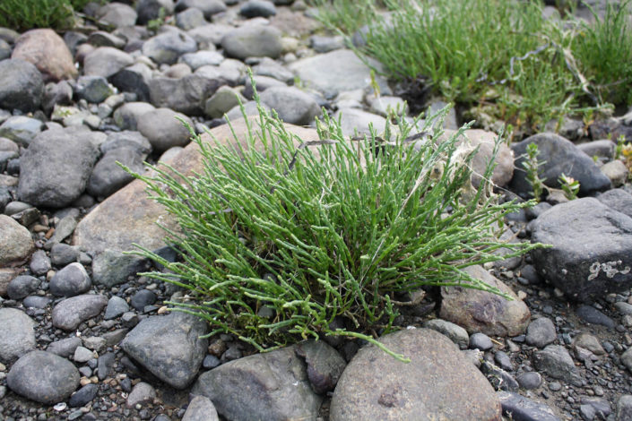 Sea Asparagus - Salicornia virginica, Tanis Gower