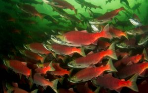 Sockeye Salmon - Oncorhynchus nerka, Eiko Jones