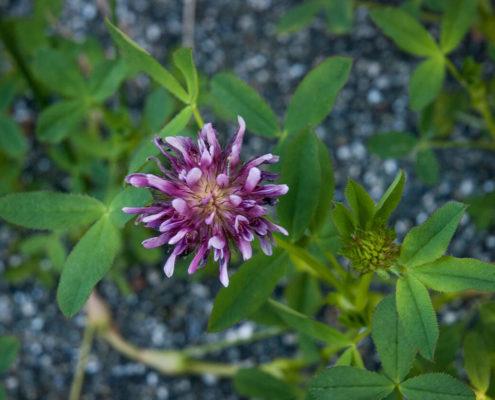 Springbank Clover - Trifolium wormskioldii, D Ingram