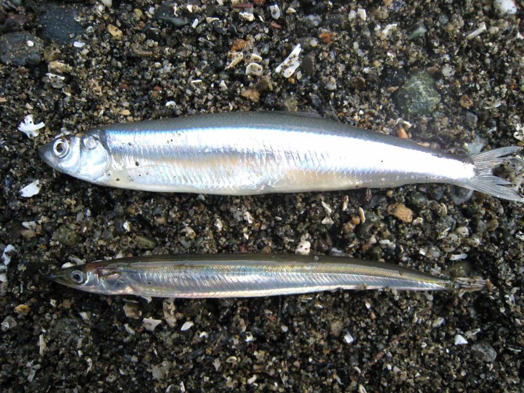 Surf Smelt - Hypomesus pretiosus (top) and Pacific Sandlance - Ammodytidae (bottom), K Perry