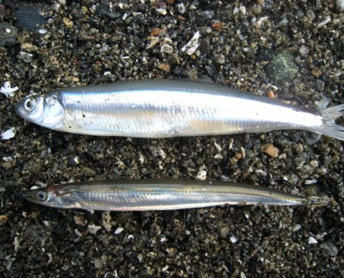 Surf Smelt - Hypomesus pretiosus (top) and Pacific Sandlance - Ammodytidae (bottom), K Perry