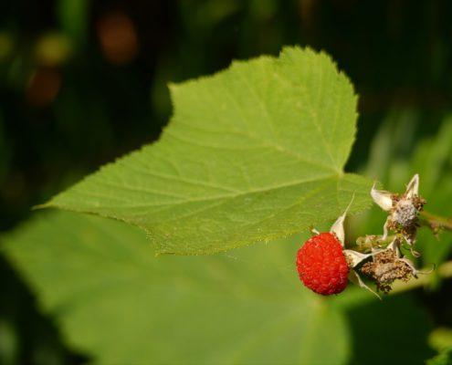 Thimbleberry - Rubus parviflorus, K Kaptein
