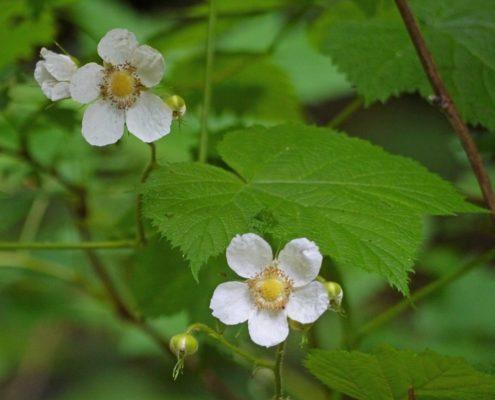 Thimbleberry - Rubus parviflorus, Krista Kaptein