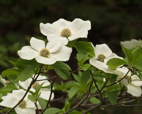 Western Flowering Dogwood - Cornus nuttallii, Terry Thormin