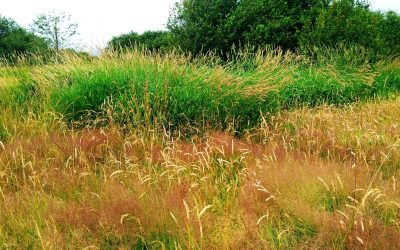 Project Watershed is Battling Reed Canary Grass