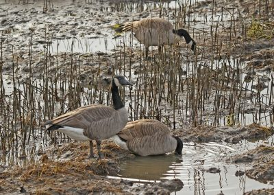 Resident Geese Eating Salt Marsh by Gerry Fairbrother