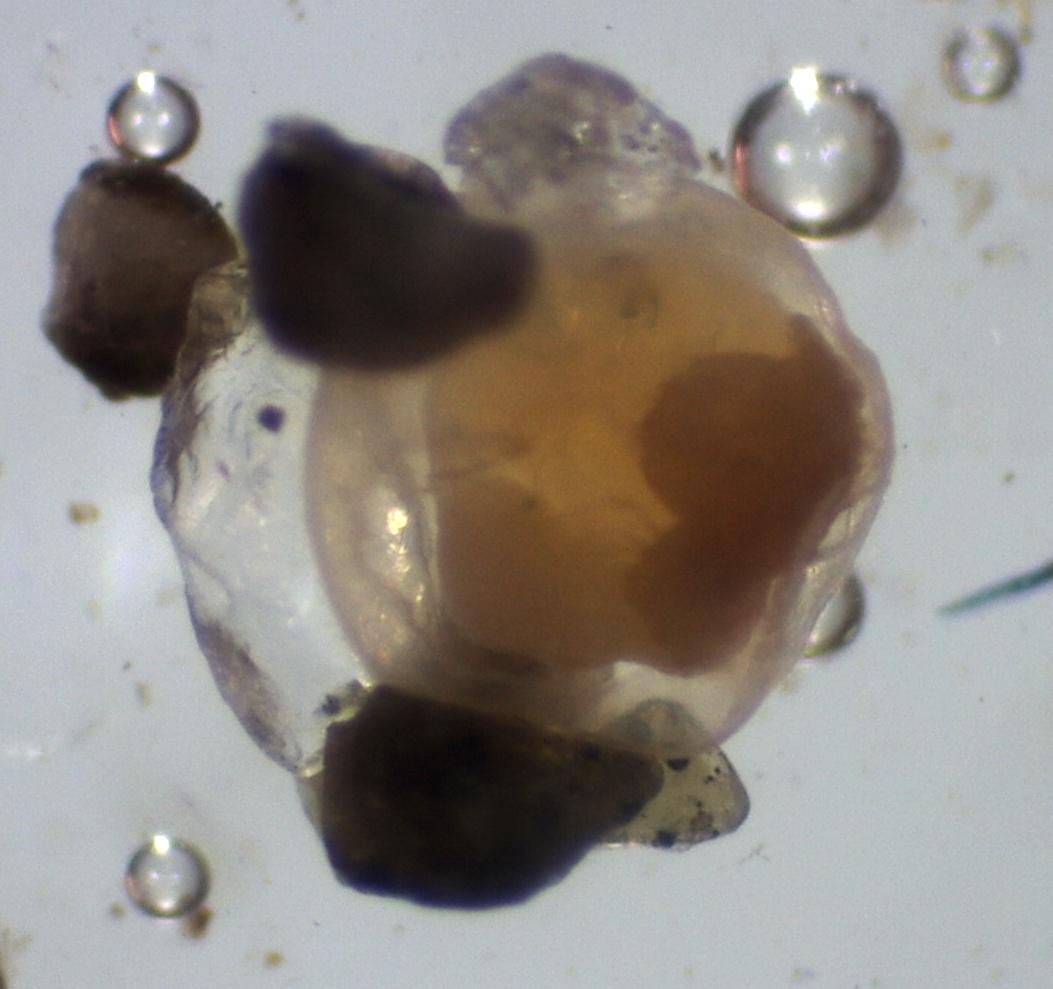 Pacific-sand-lance-embryo-Ramona-De-Graaf