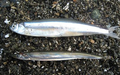 Project Watershed Takes on Forage Fish Work